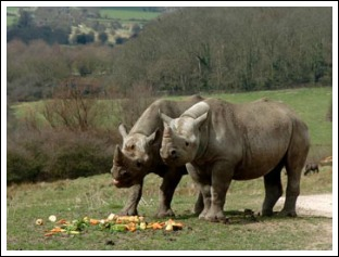 Eastern-Black-Rhino2_Hoofstock