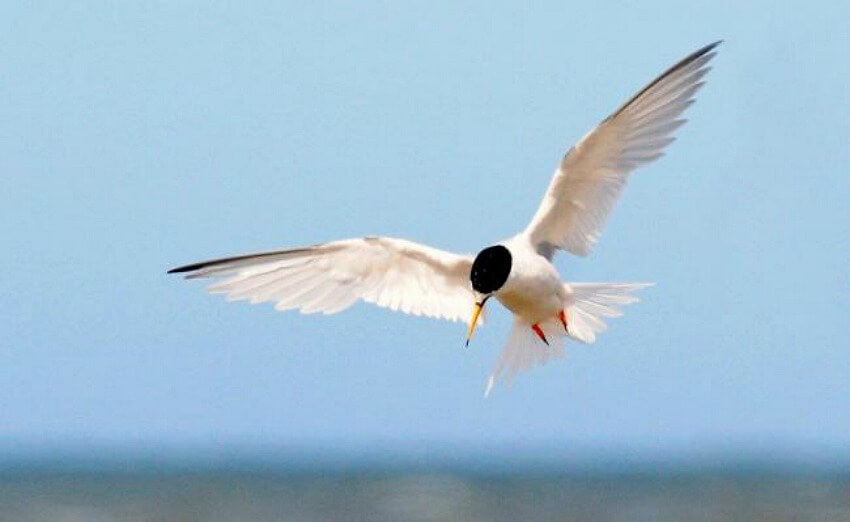 little tern at rye harbour nature reserve