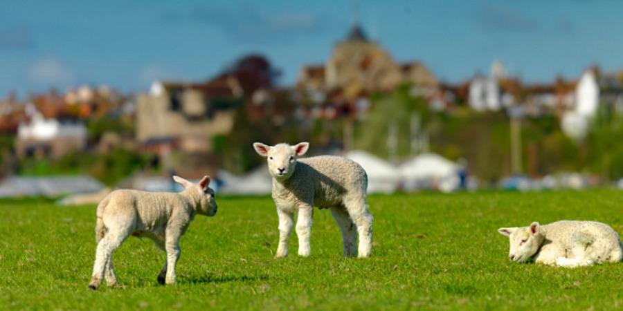 rye bay lamb