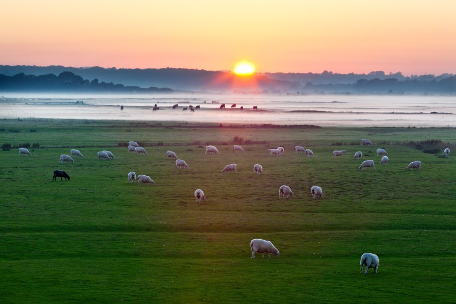 Romney marsh sheep autumn