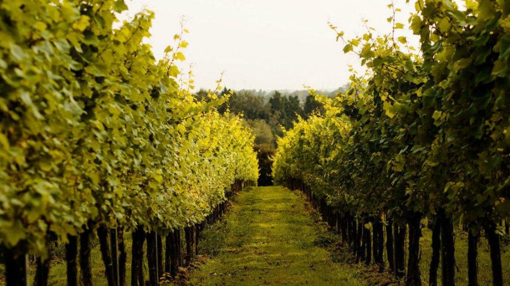 Sussex vineyards