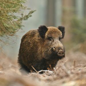 Rye Wild Boar
