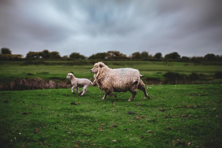 Springtime lambs in Romney Marsh