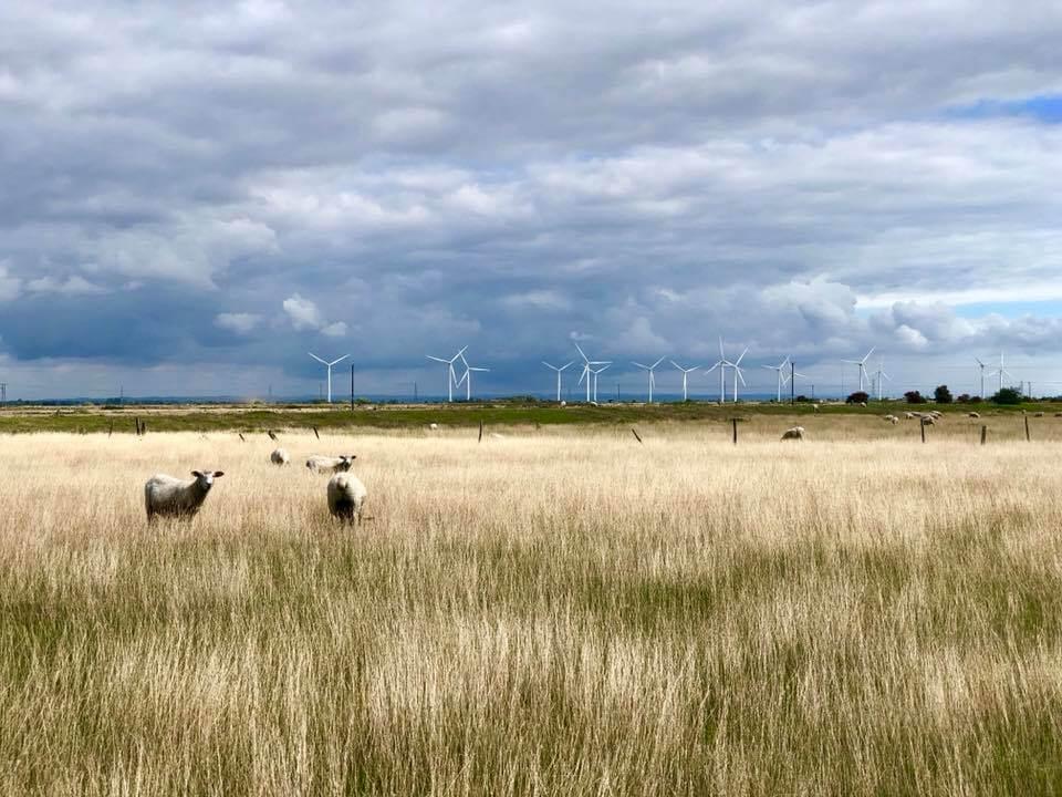 Romney Marsh lambs in Camber Sands