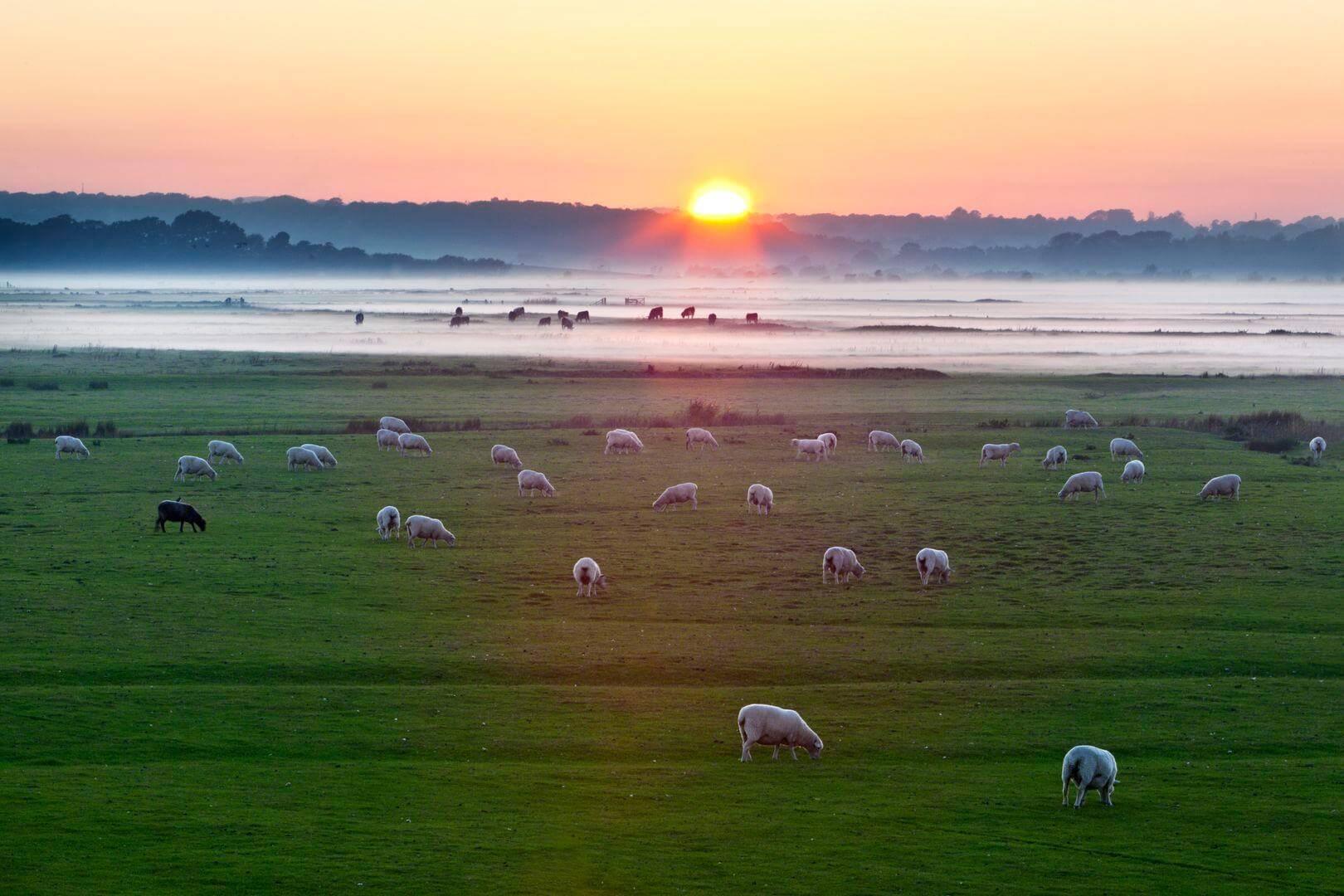 Sheep running path UK