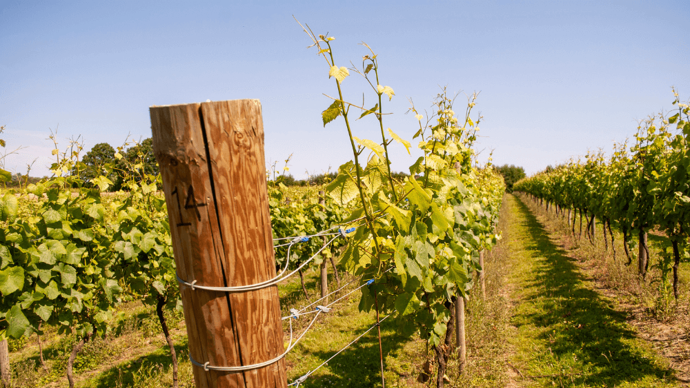 Vines at Chapel Down vineyard in Kent